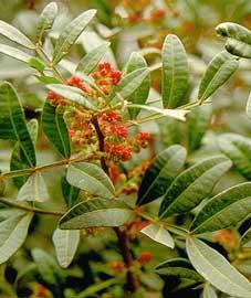 pistacia-lentiscus-hojas
